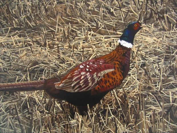 Cock Pheasant Amongst Corn Stubbles
