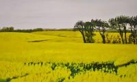 Field of Oilseed Rape Near Shanagarry watermark